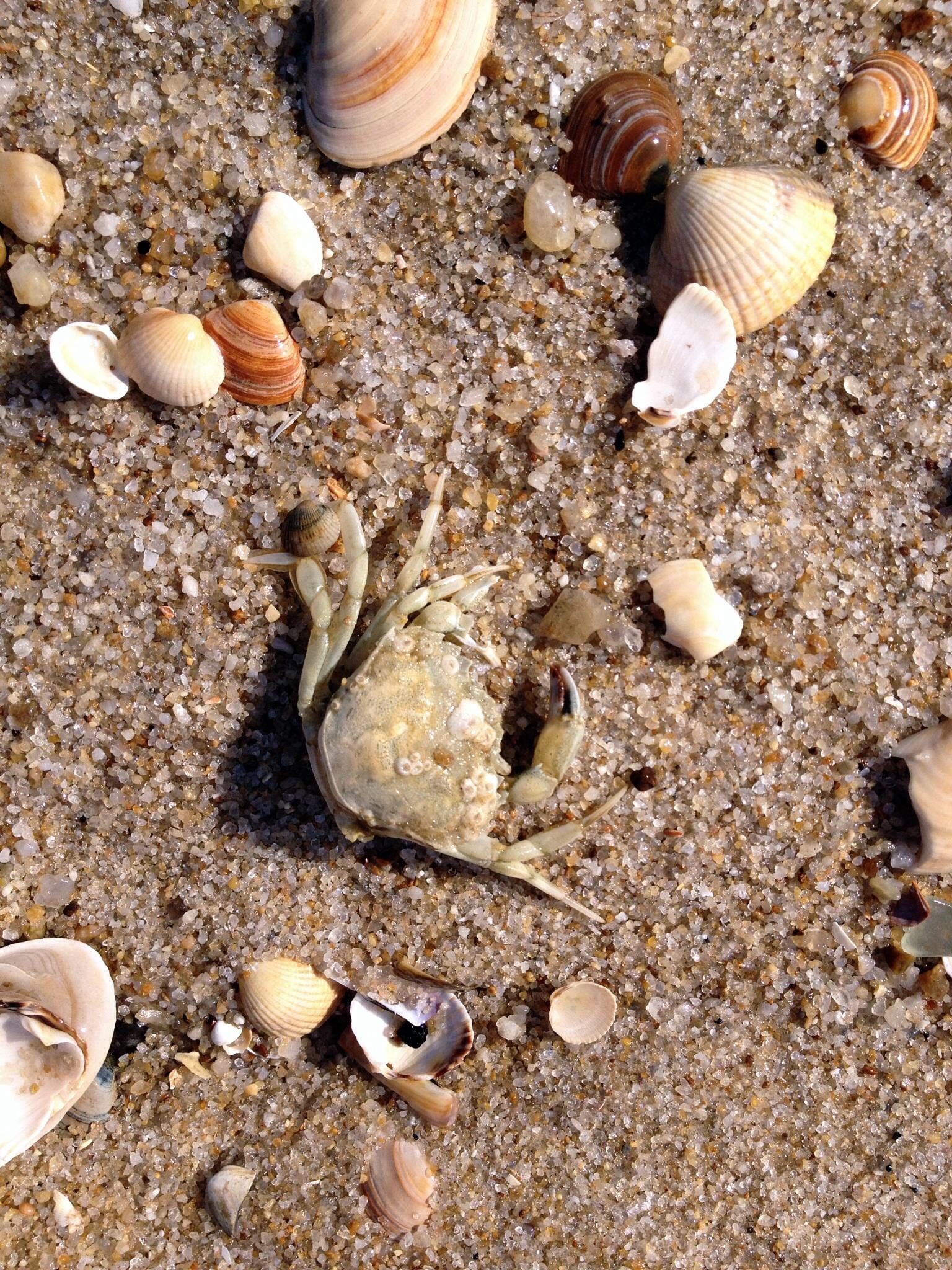Muscheln und Krebs am Strand