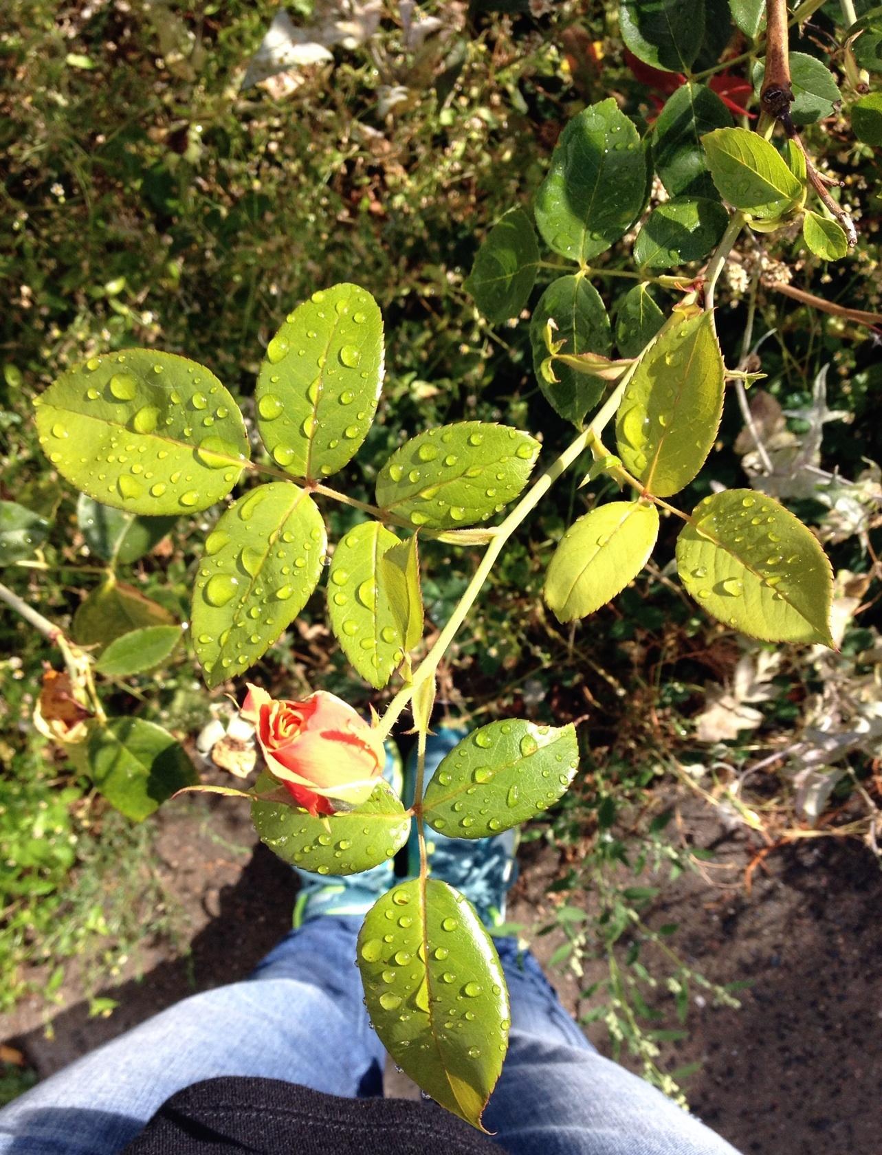 Rose Regentropfen