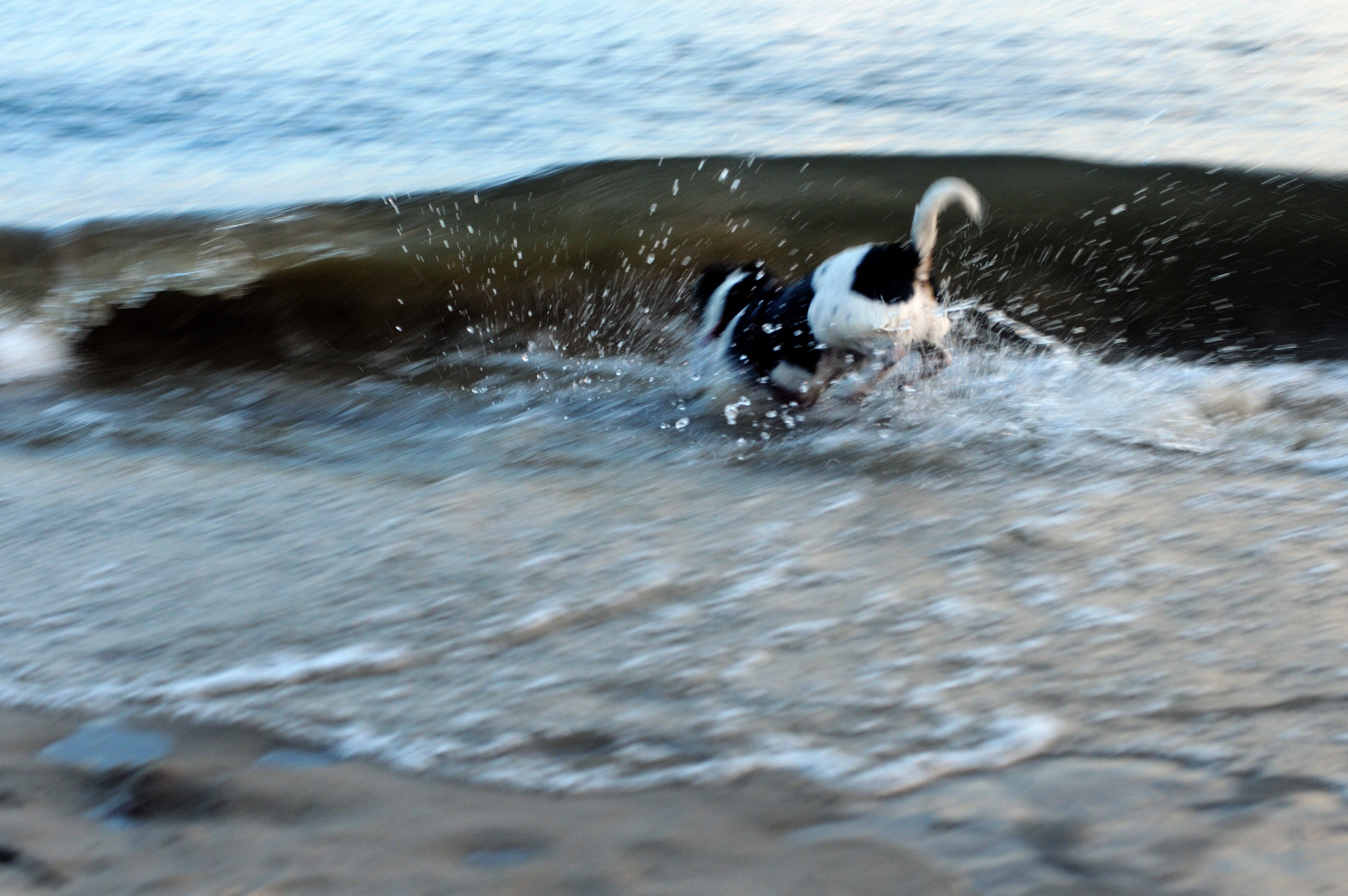 Hund in wellen