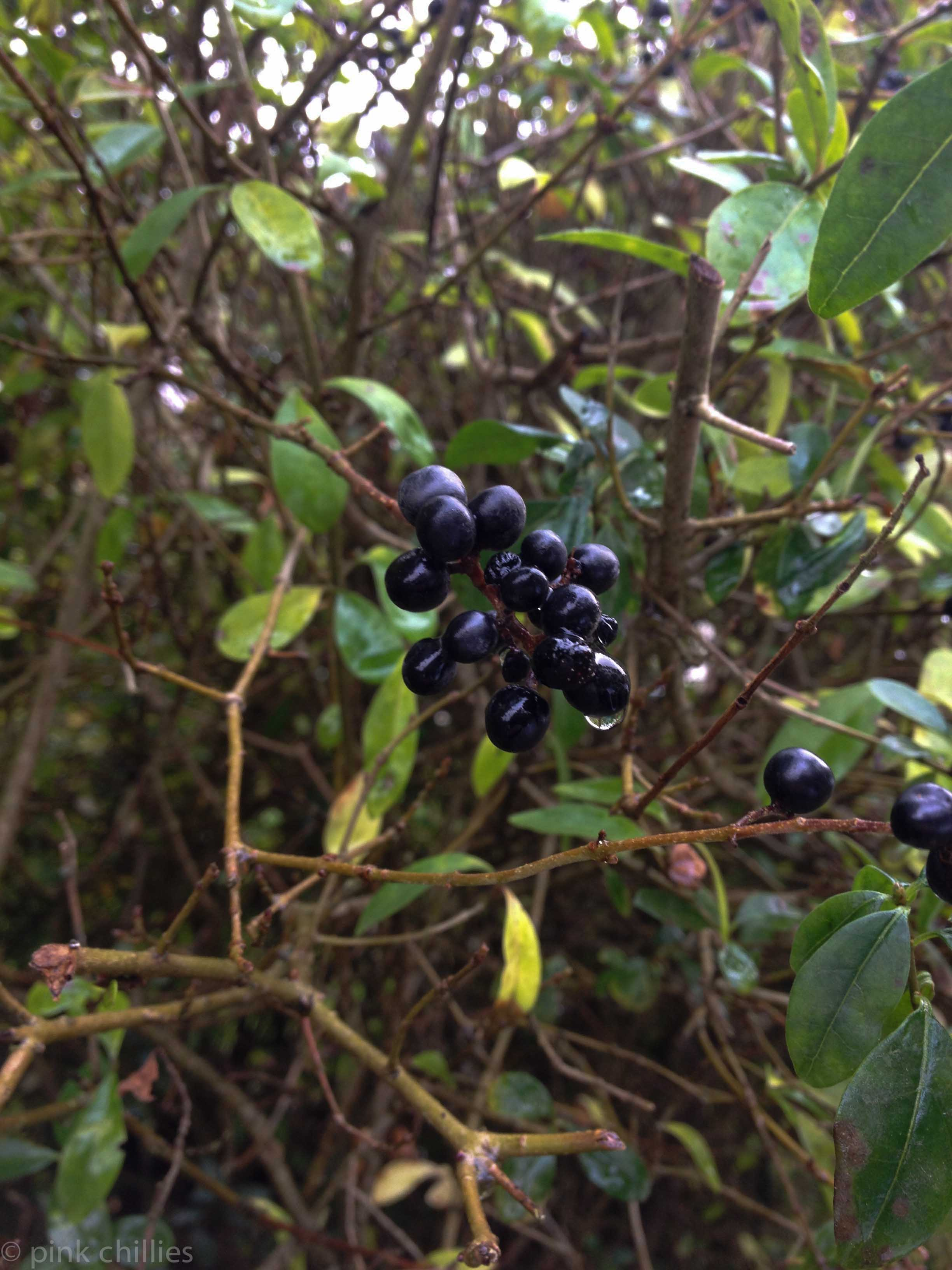 dunkle Beeren an einem Strauch