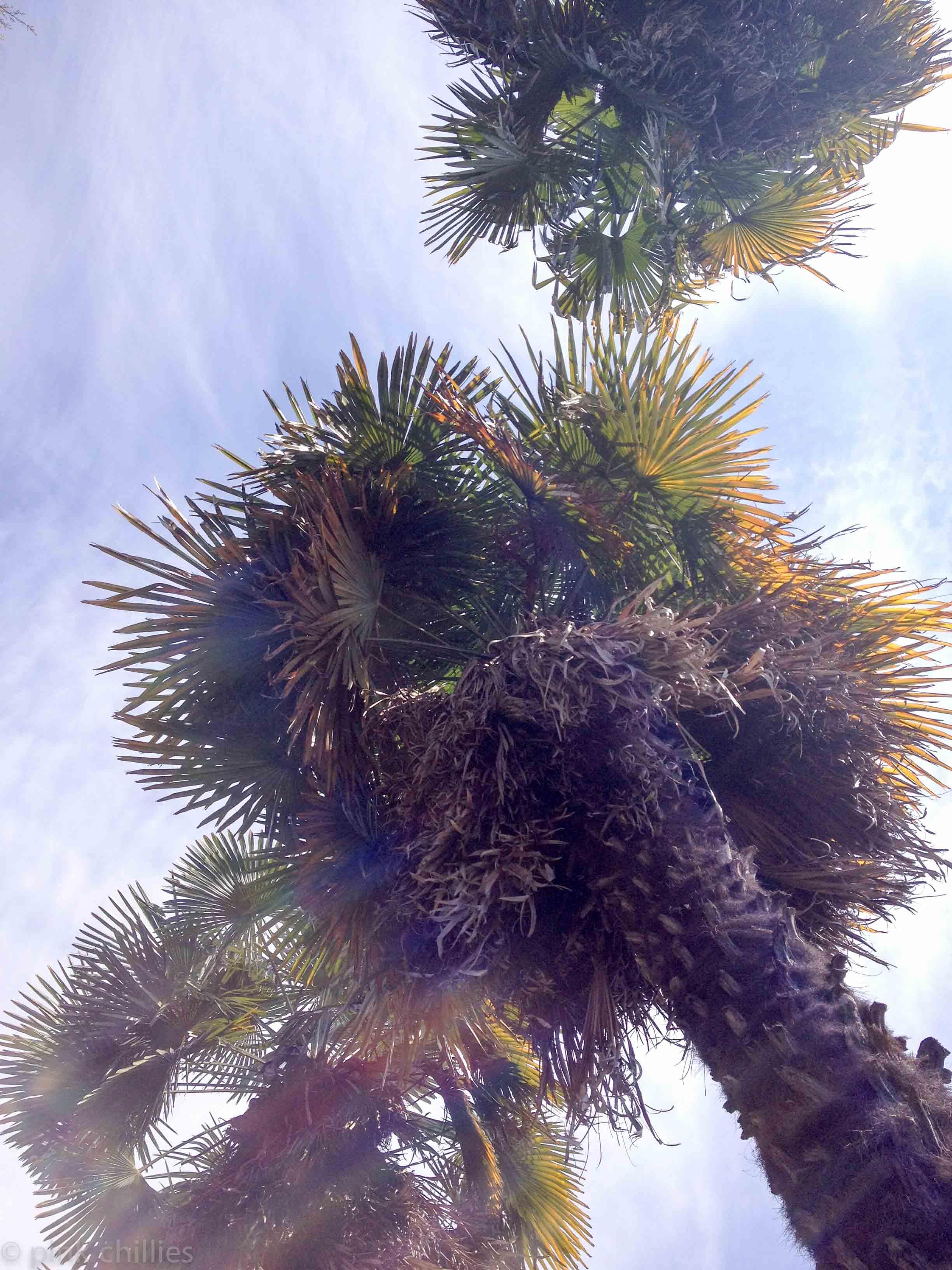 Palmen Santa Caterina del Sasso