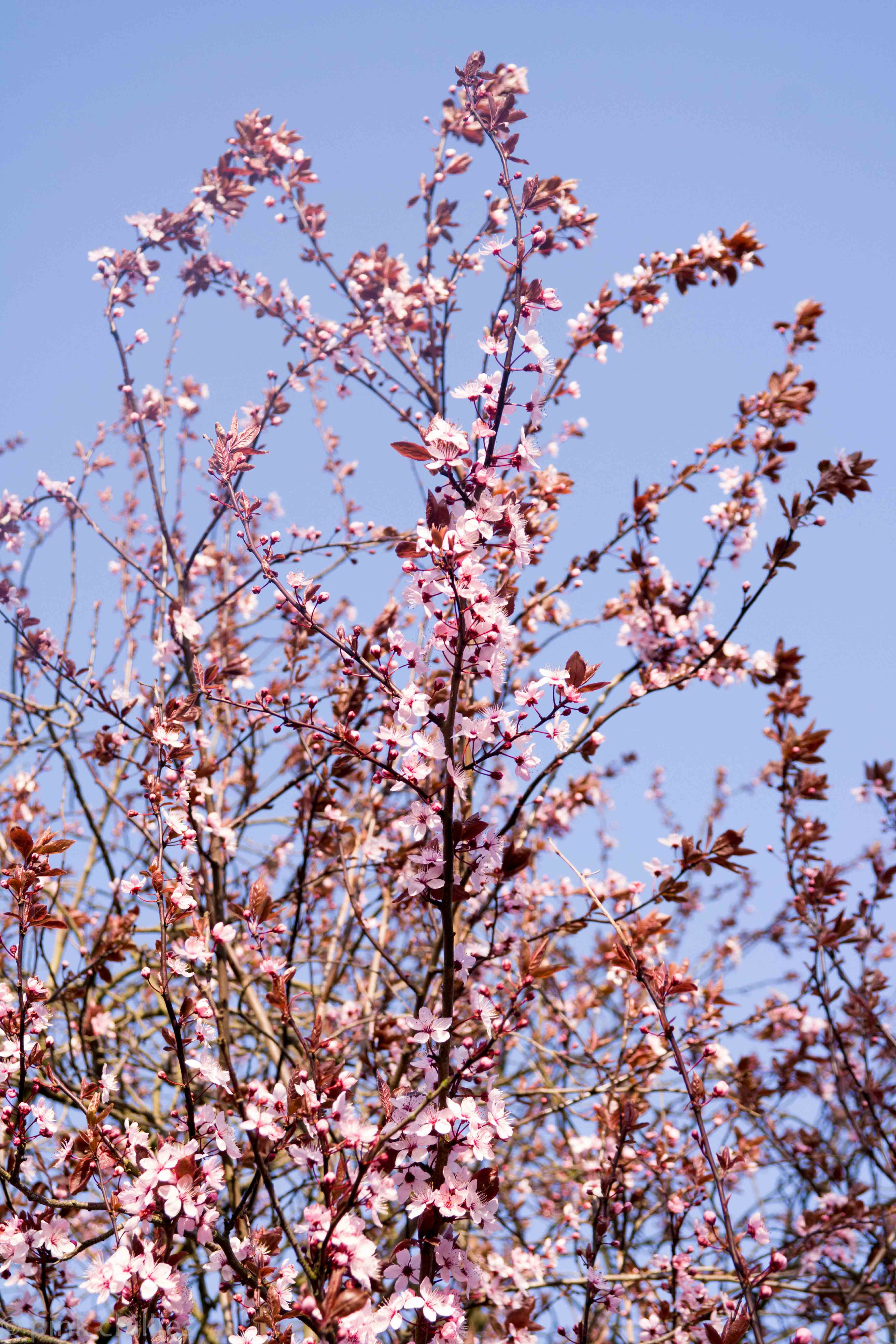 rosa blühende Bäume