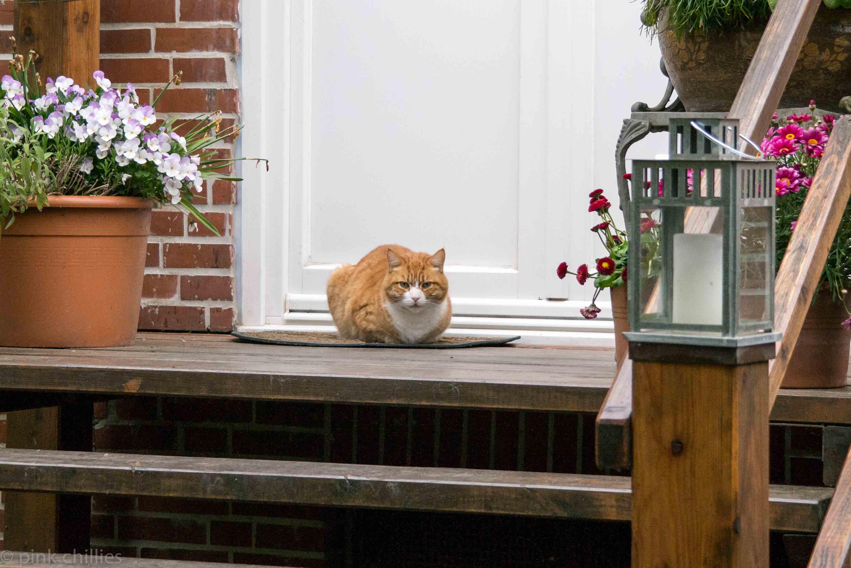 Ginger Cat-0160