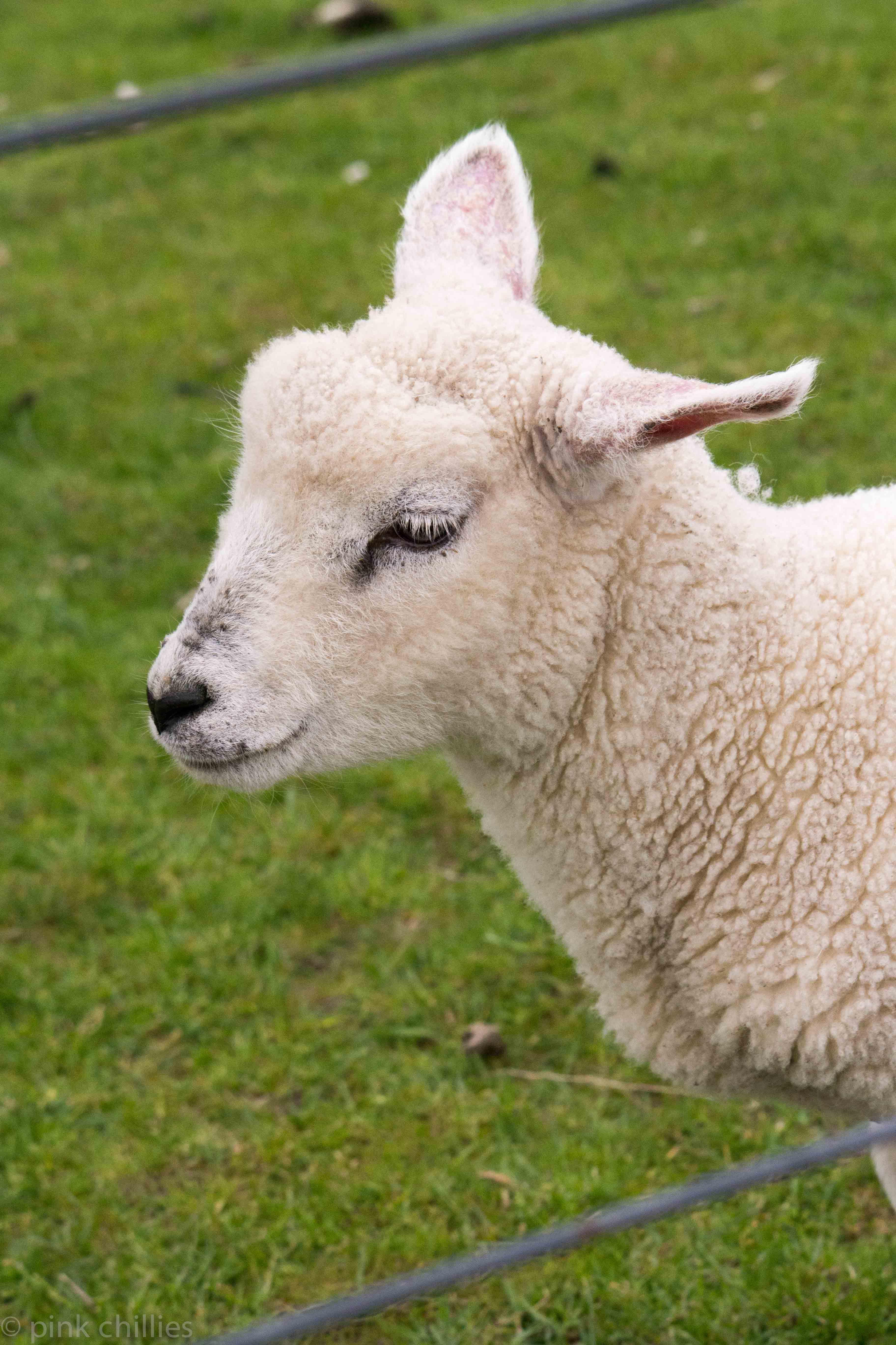 Lamm mit hellen Wimpern