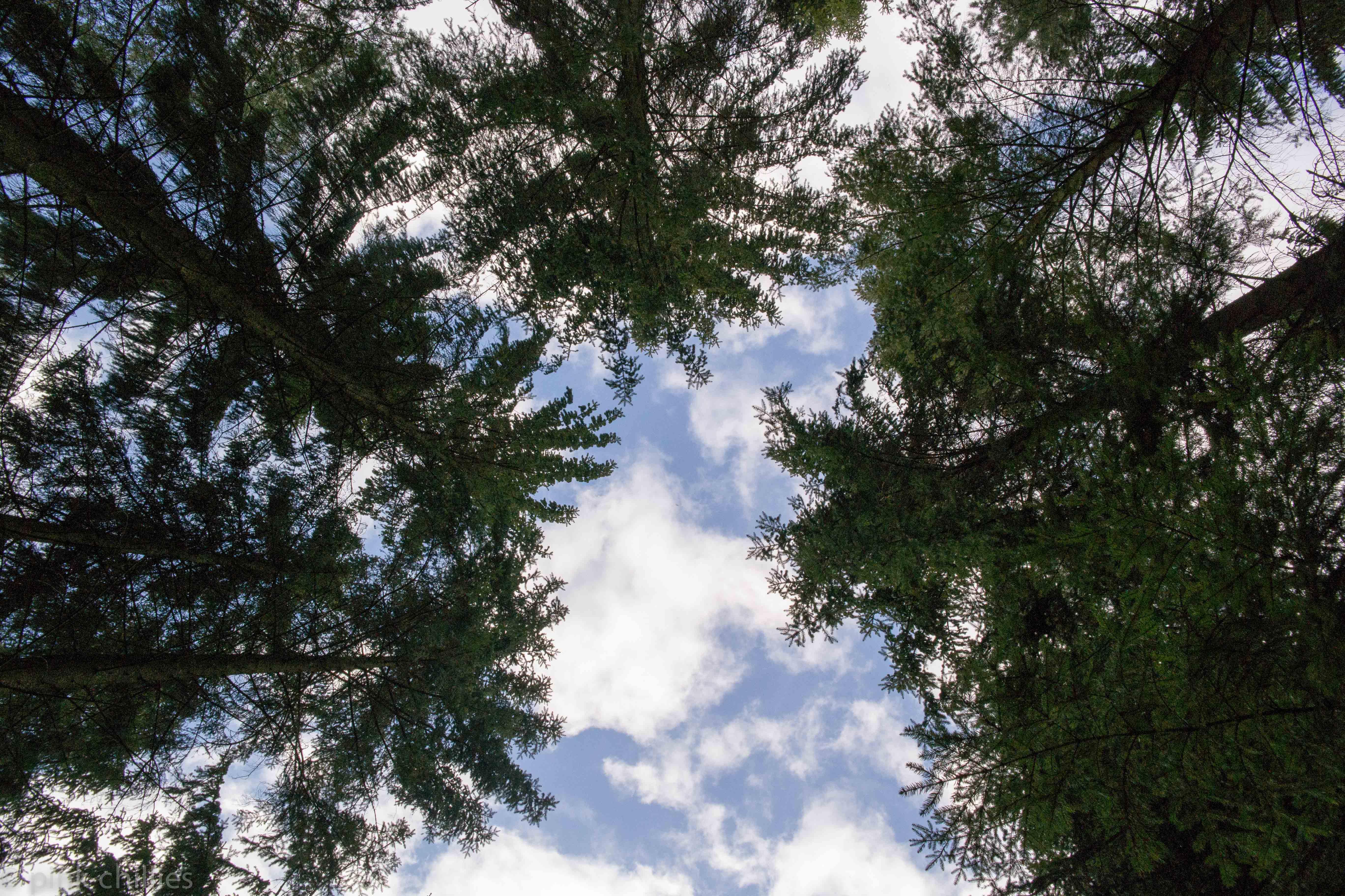 Tannen im Wald blauer Himmel