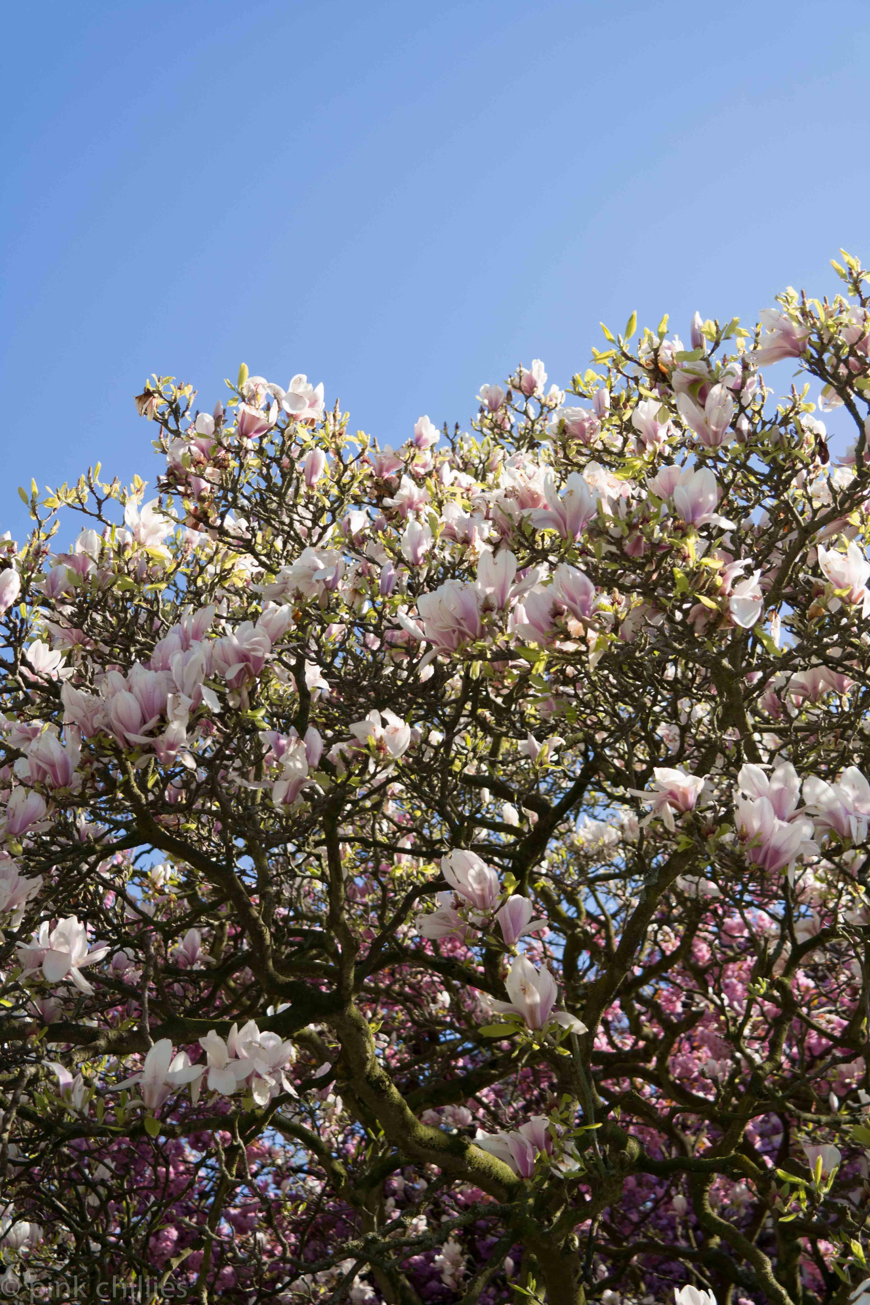 blauer Himmel mit MAgnolienbaum