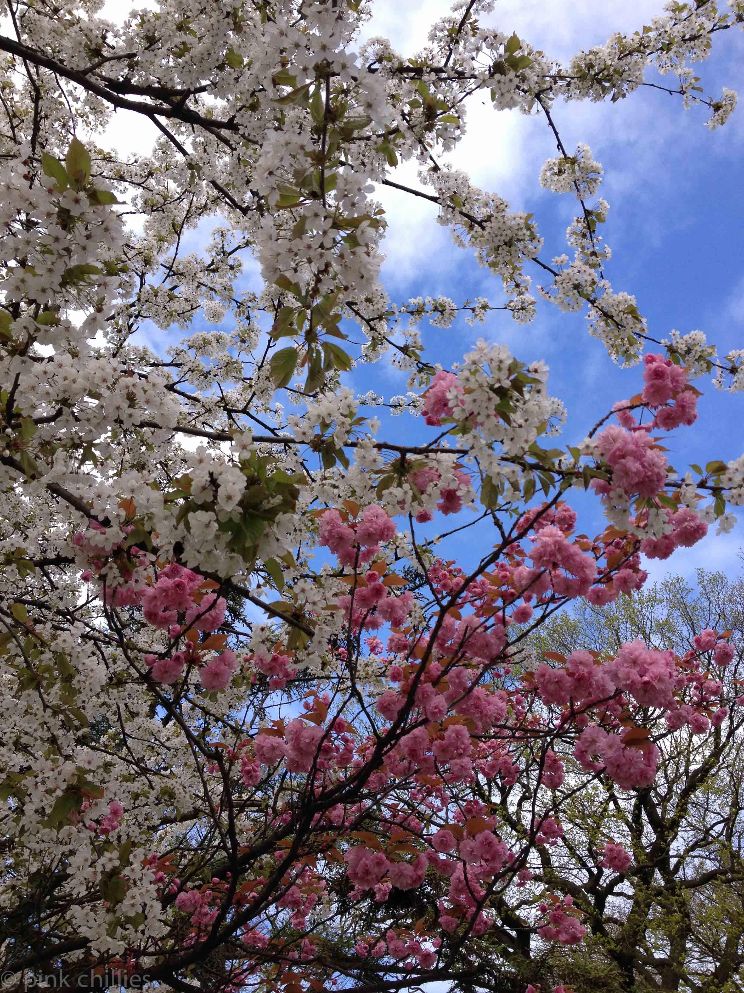 rosa und weiße Blüten an einem Baum