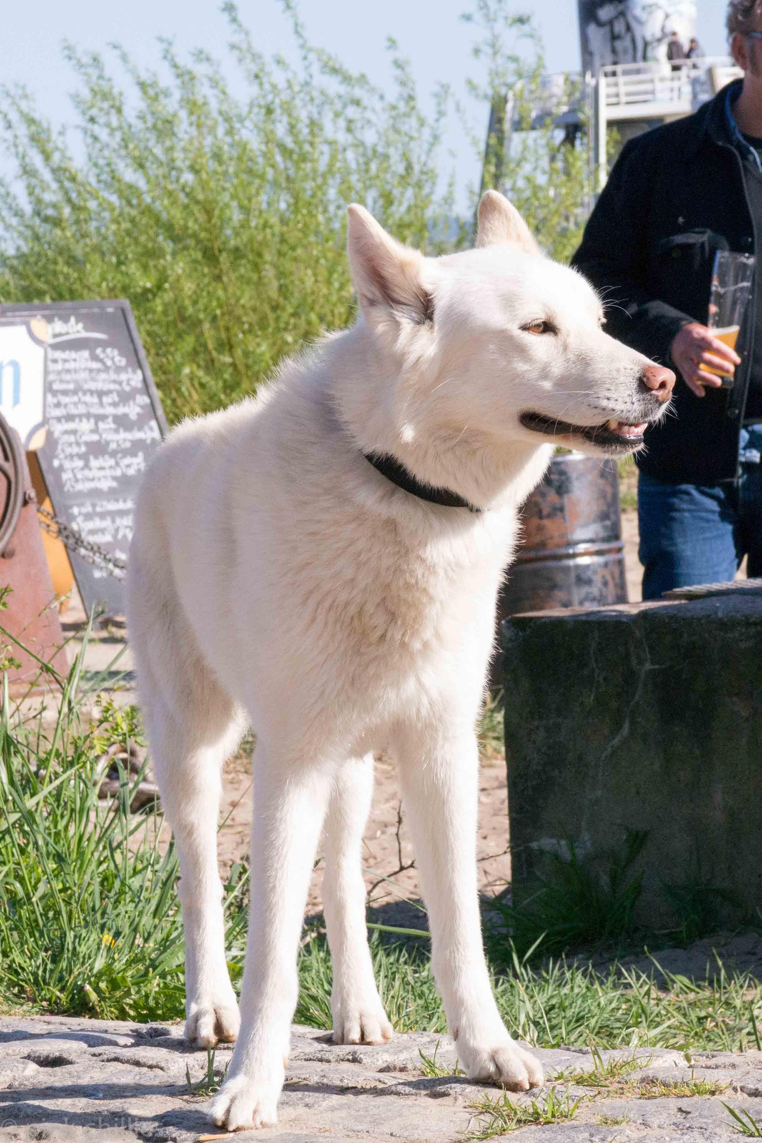 Weißer Wolfshund