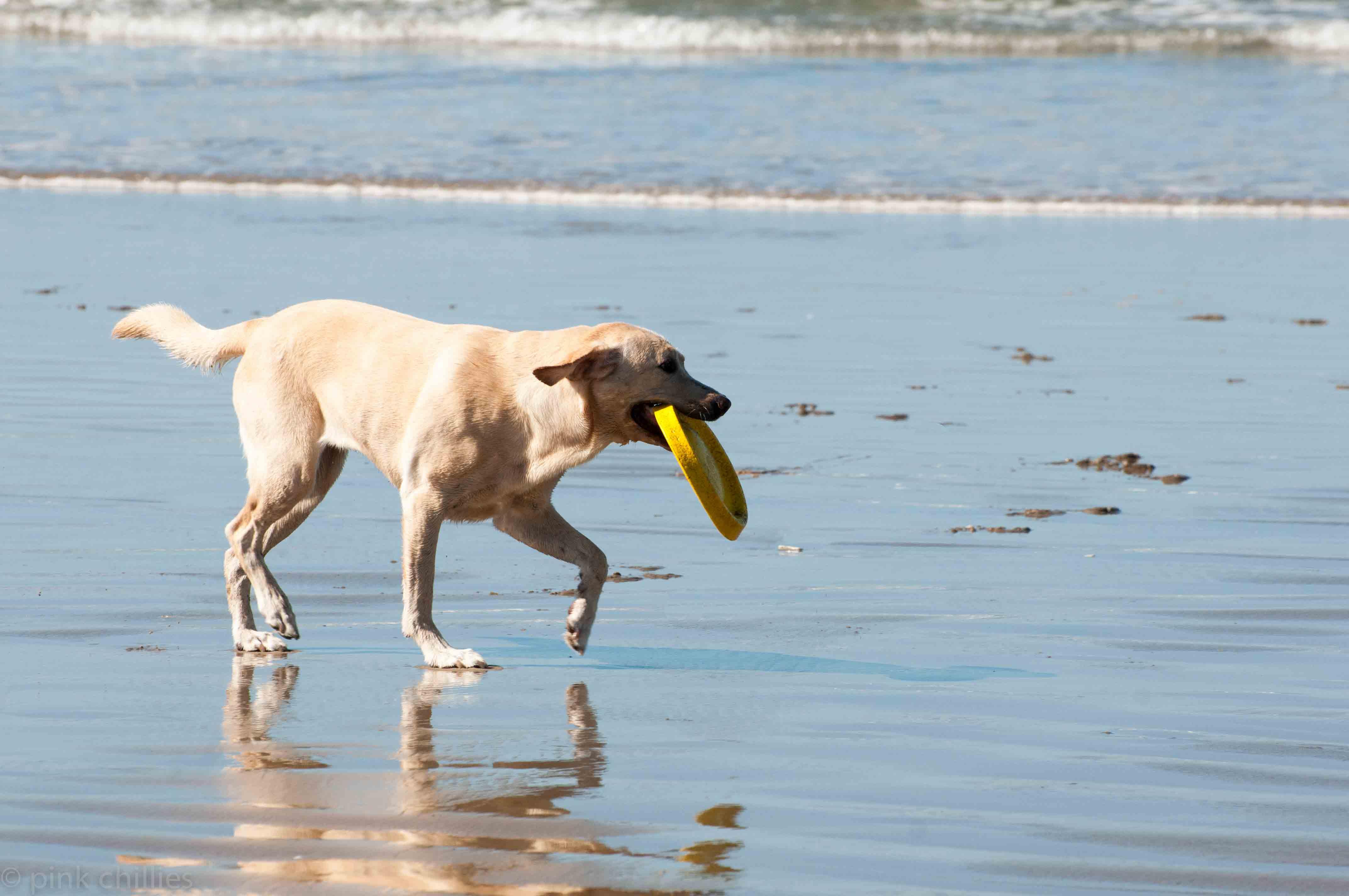 Hund mit Frisbee am Strand