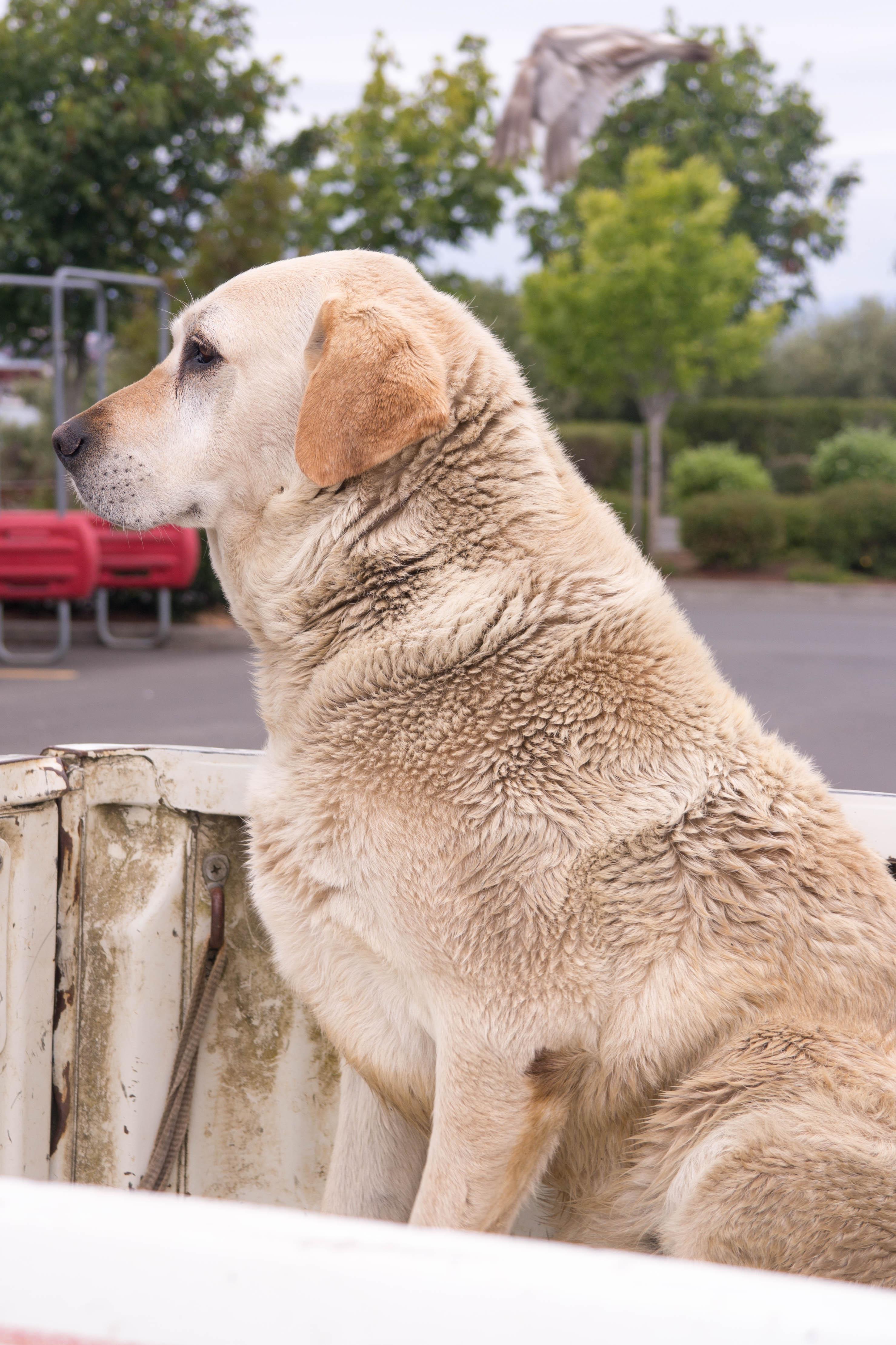 Hund auf Auto