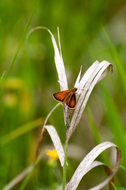 Schmetterling-1897