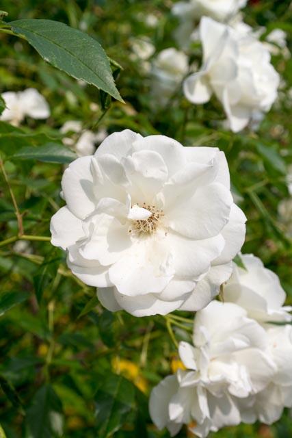 weiße rosen-1162
