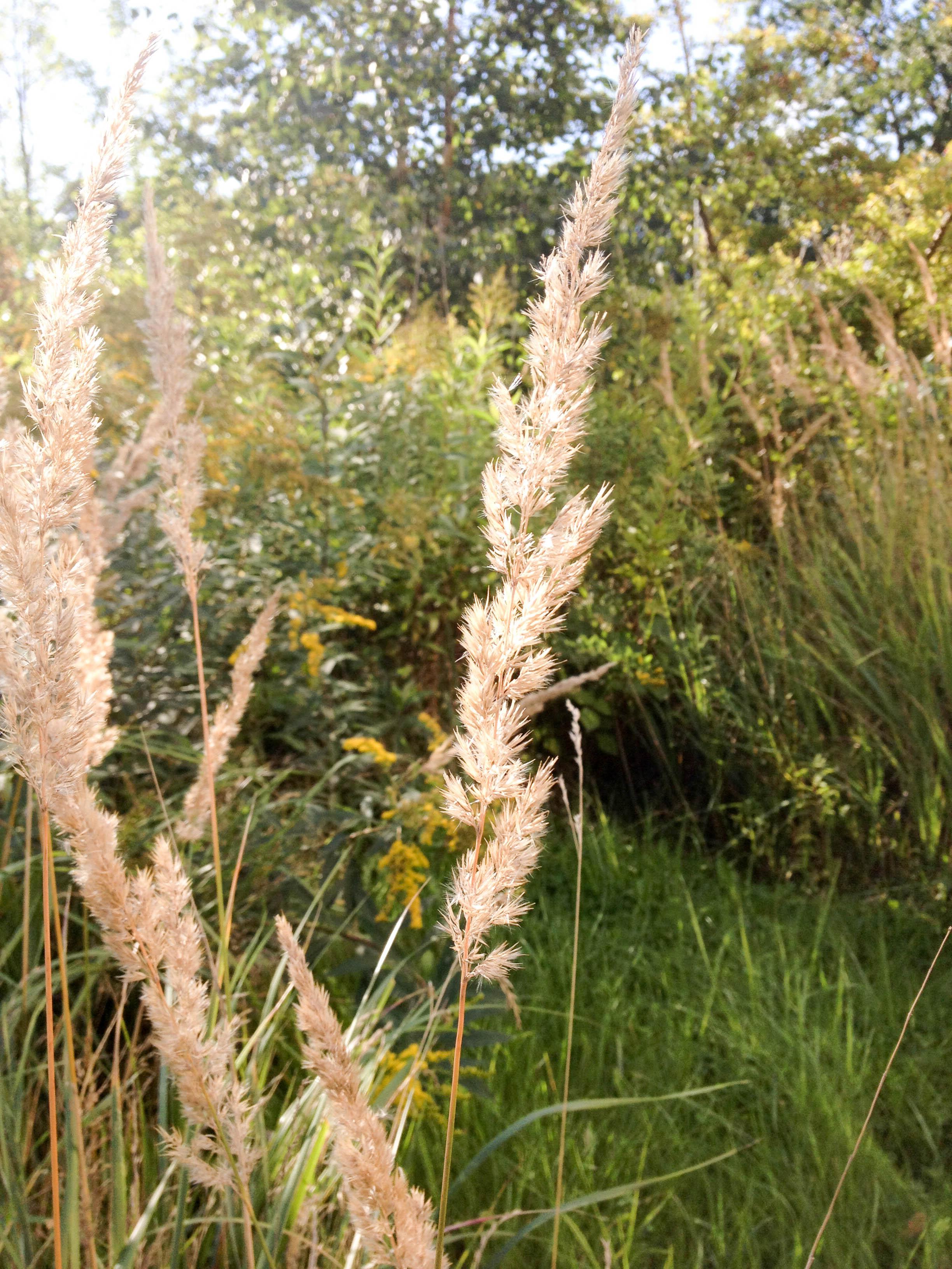 Gräser im NAchmittagslicht