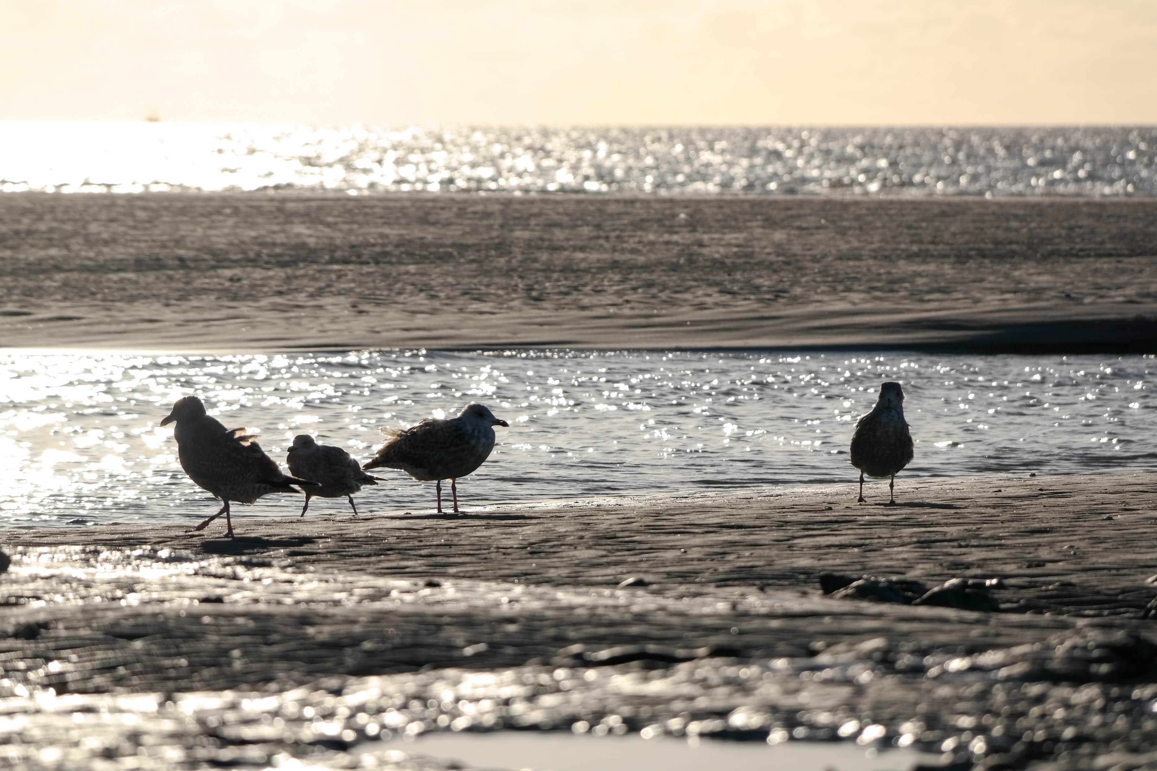Möwen in der Abendsonne Nordsee