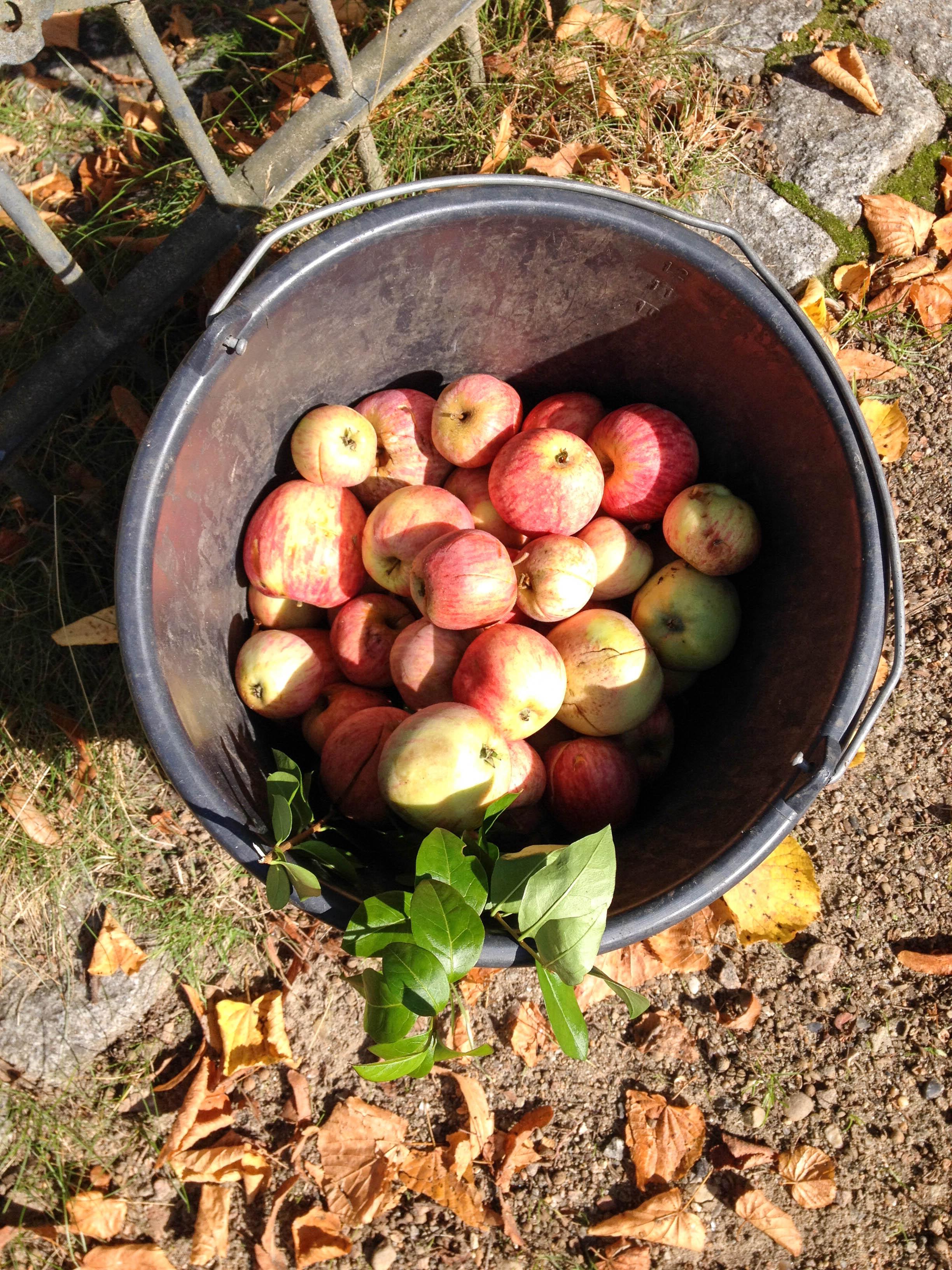 Äpfel-7363