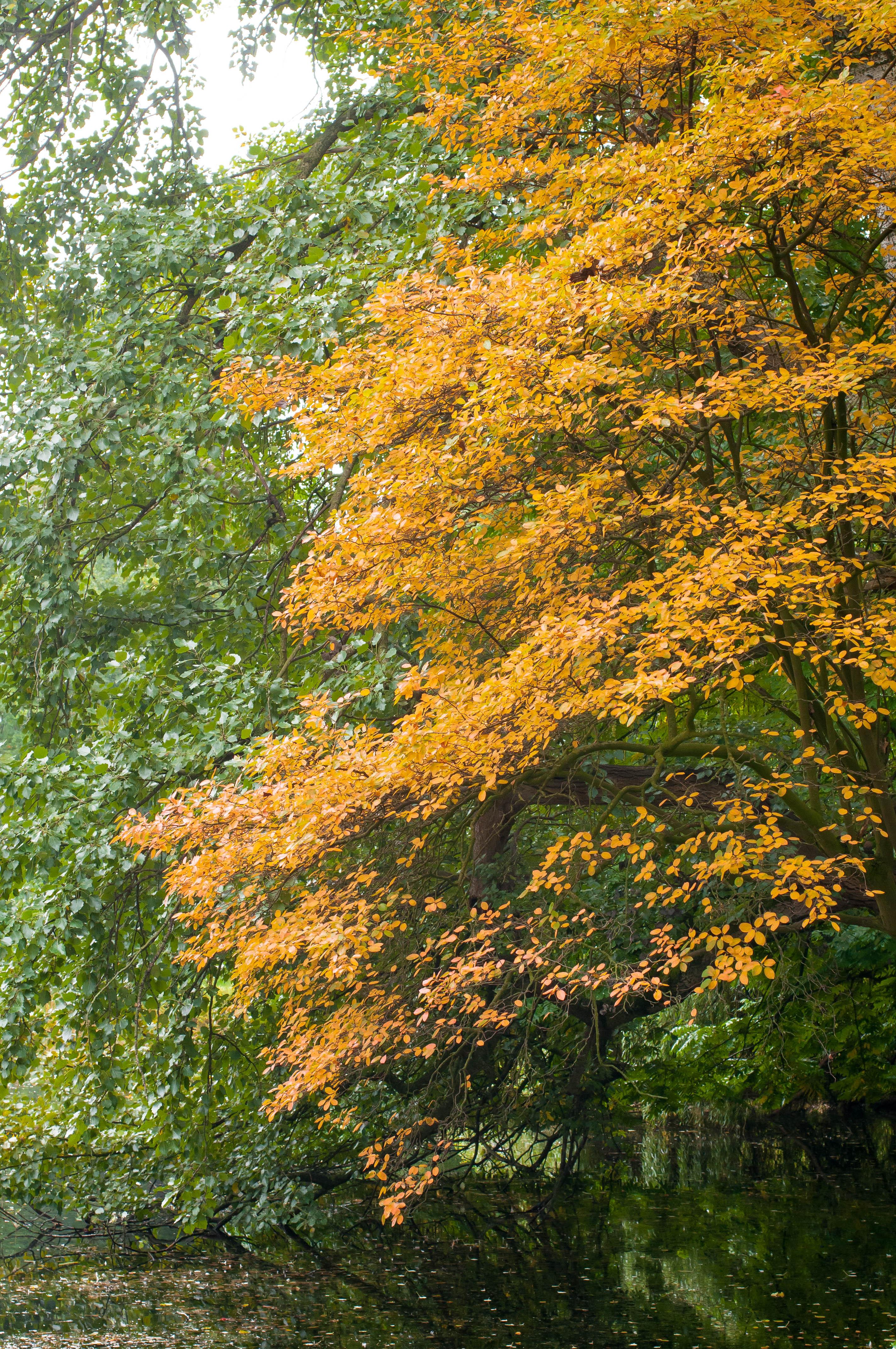 Herbstfärbung Baum Bremen-4601