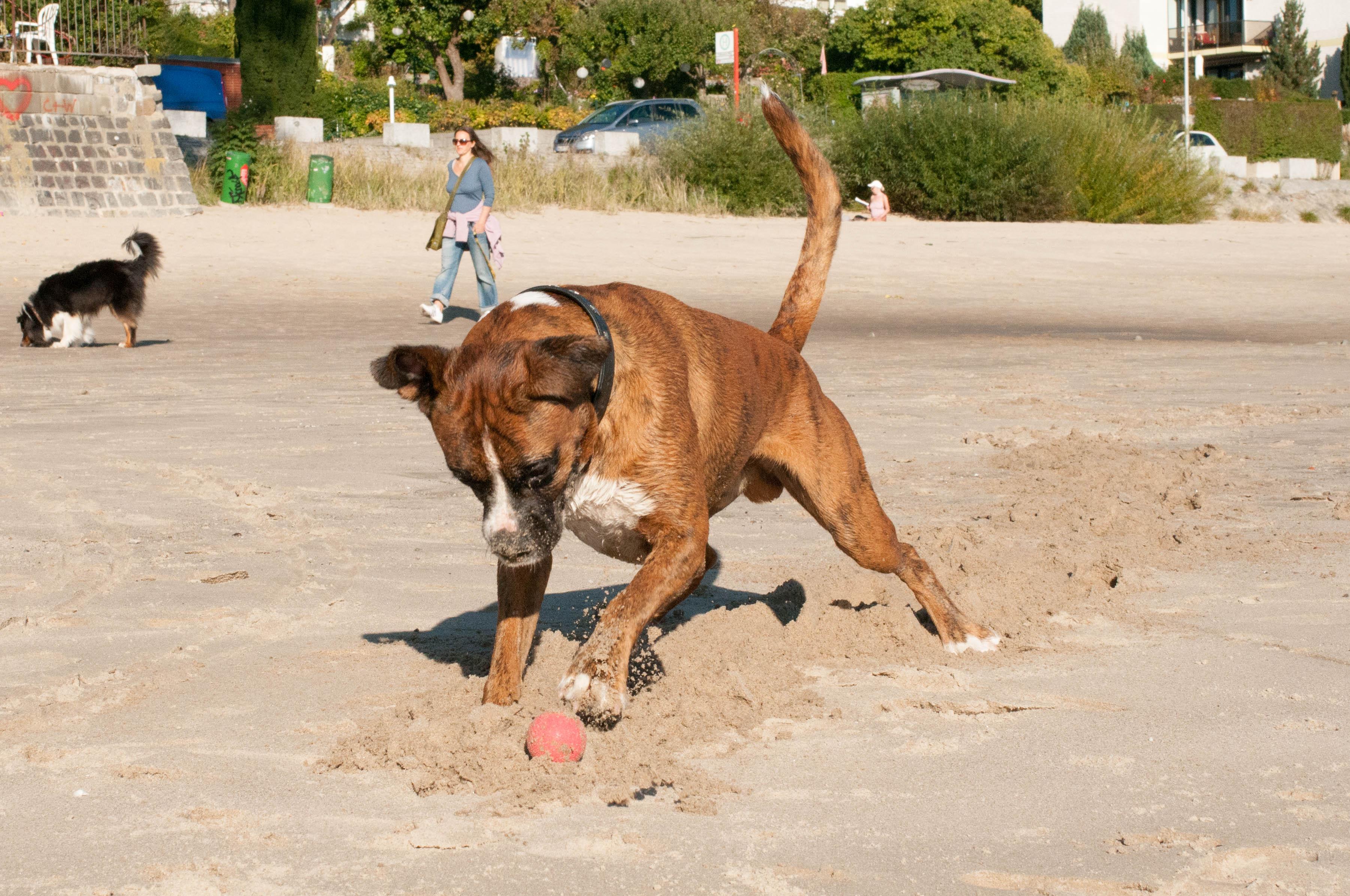 Hund Boxer Strand