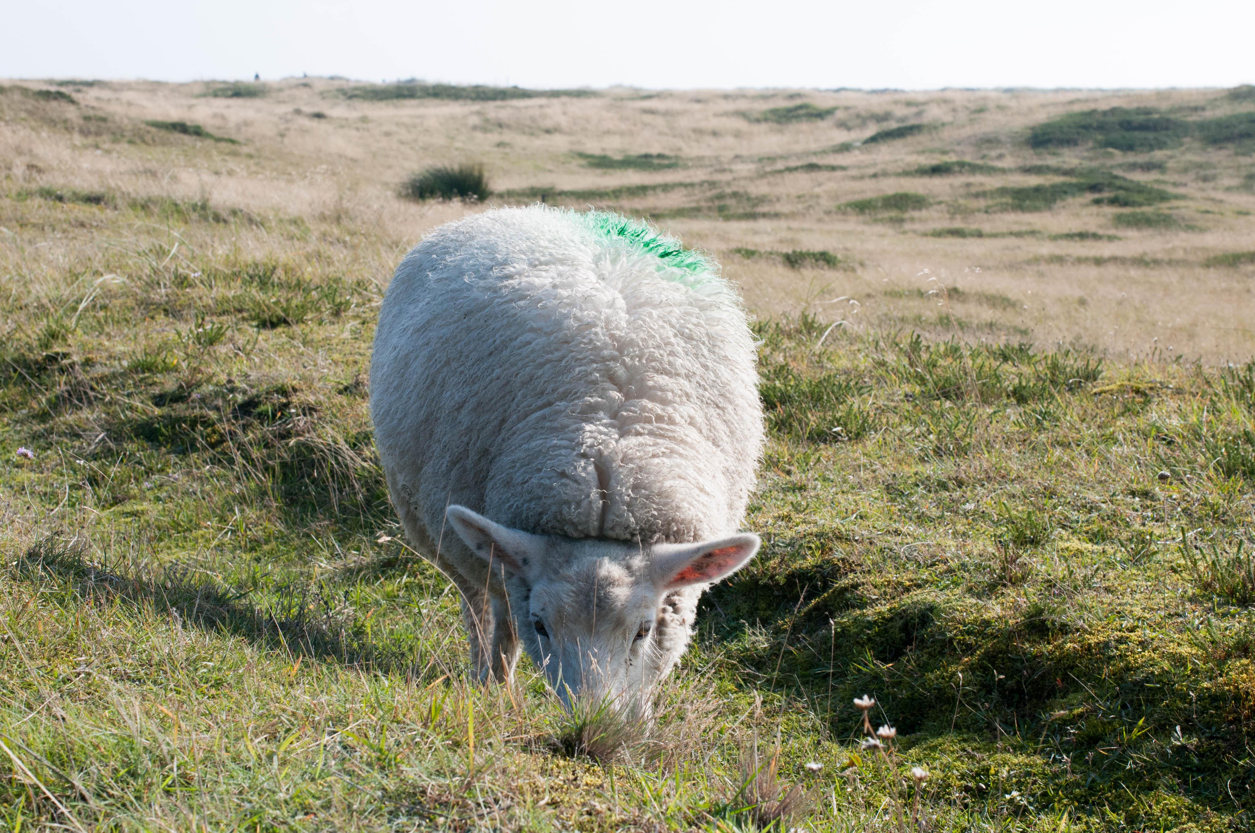 Schaf am Ellenbogen beim Grasen