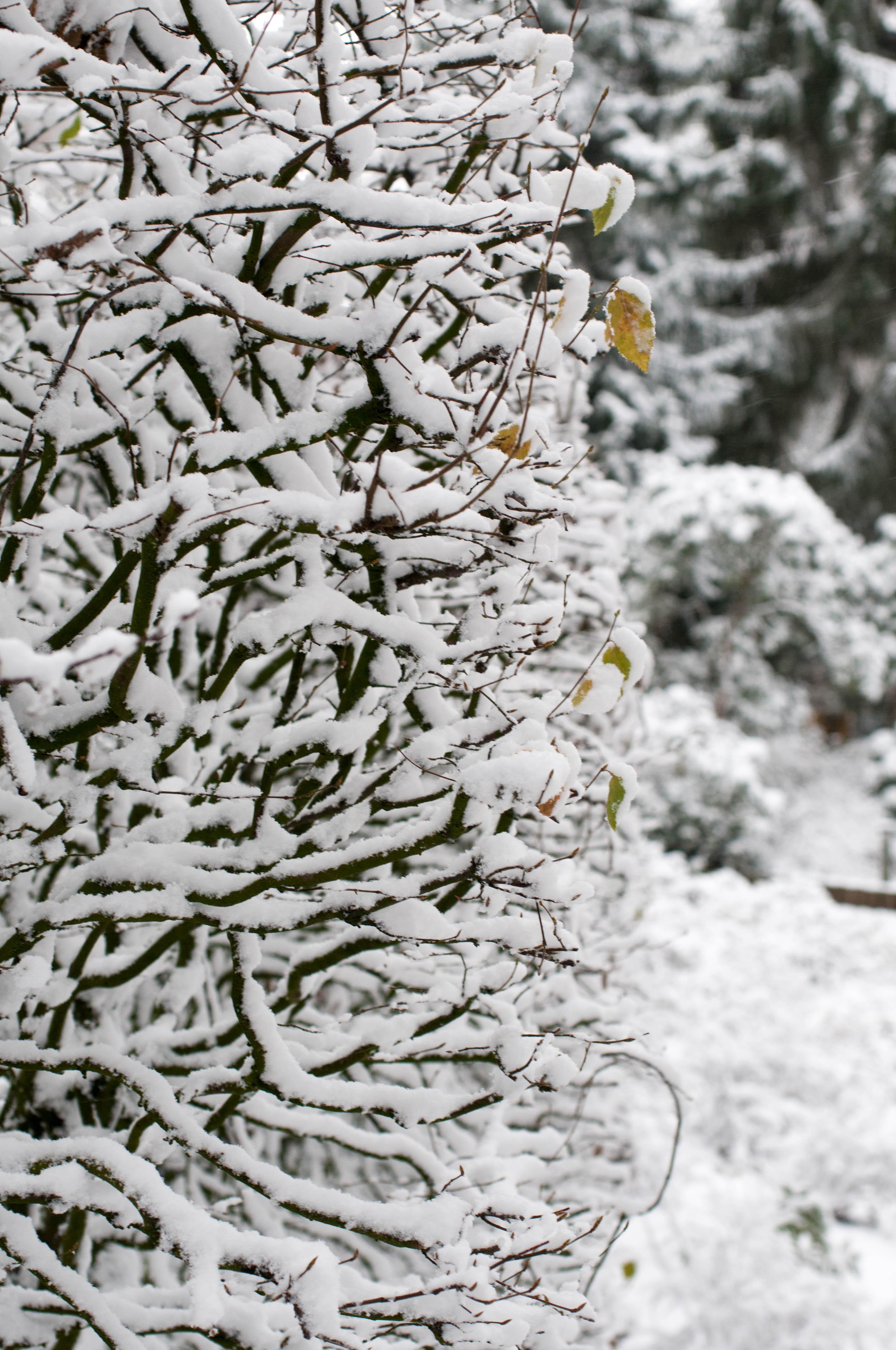 Hecke im Schnee