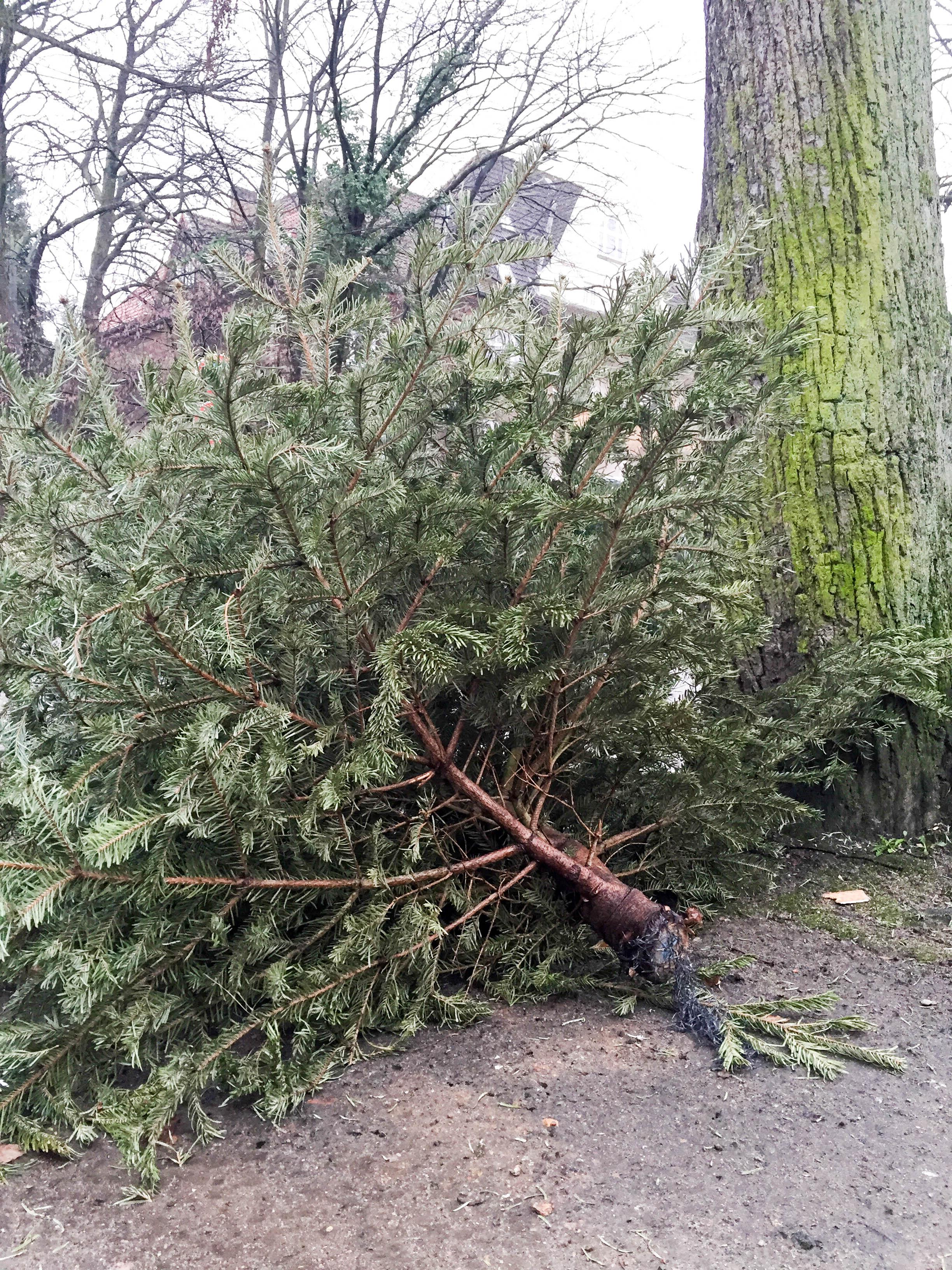 Tannenbaum am Straßenrand