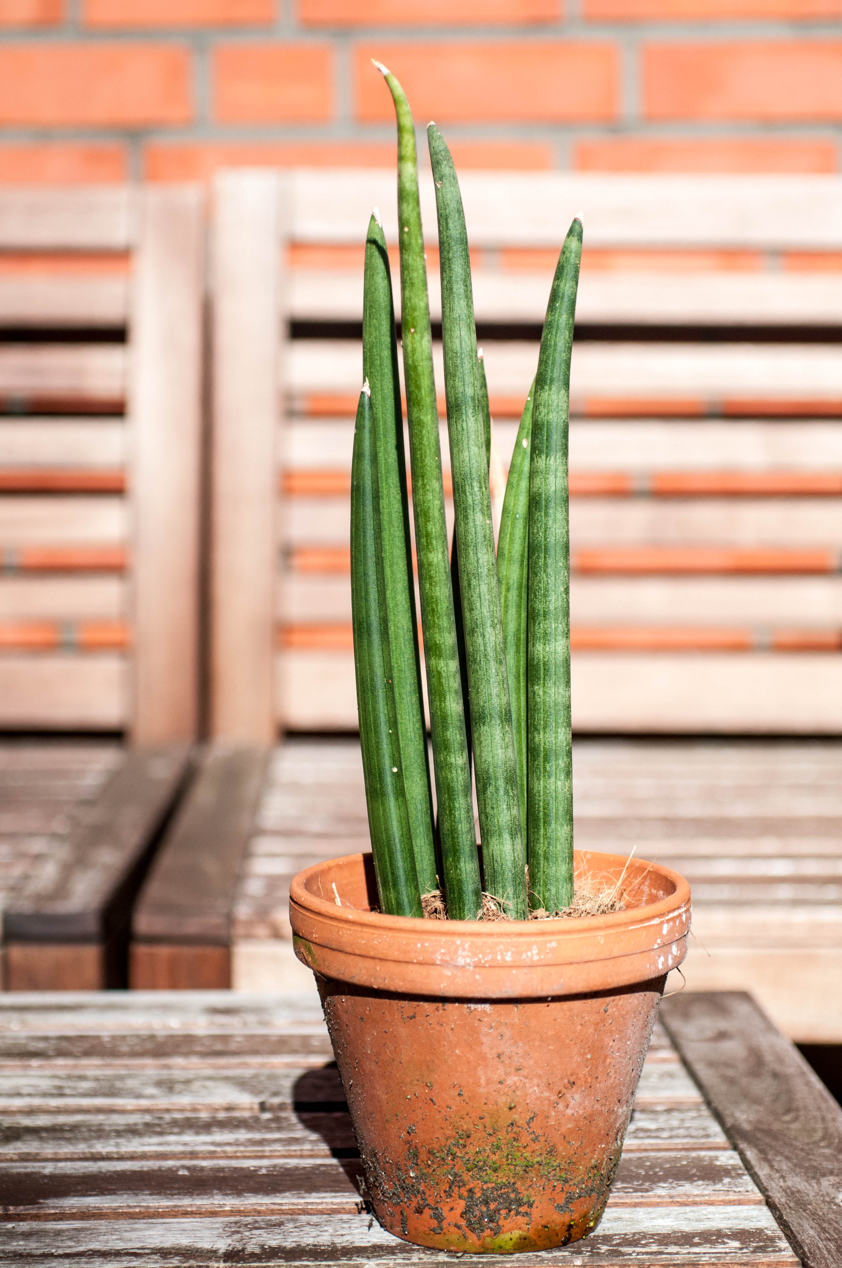 Kaktusart