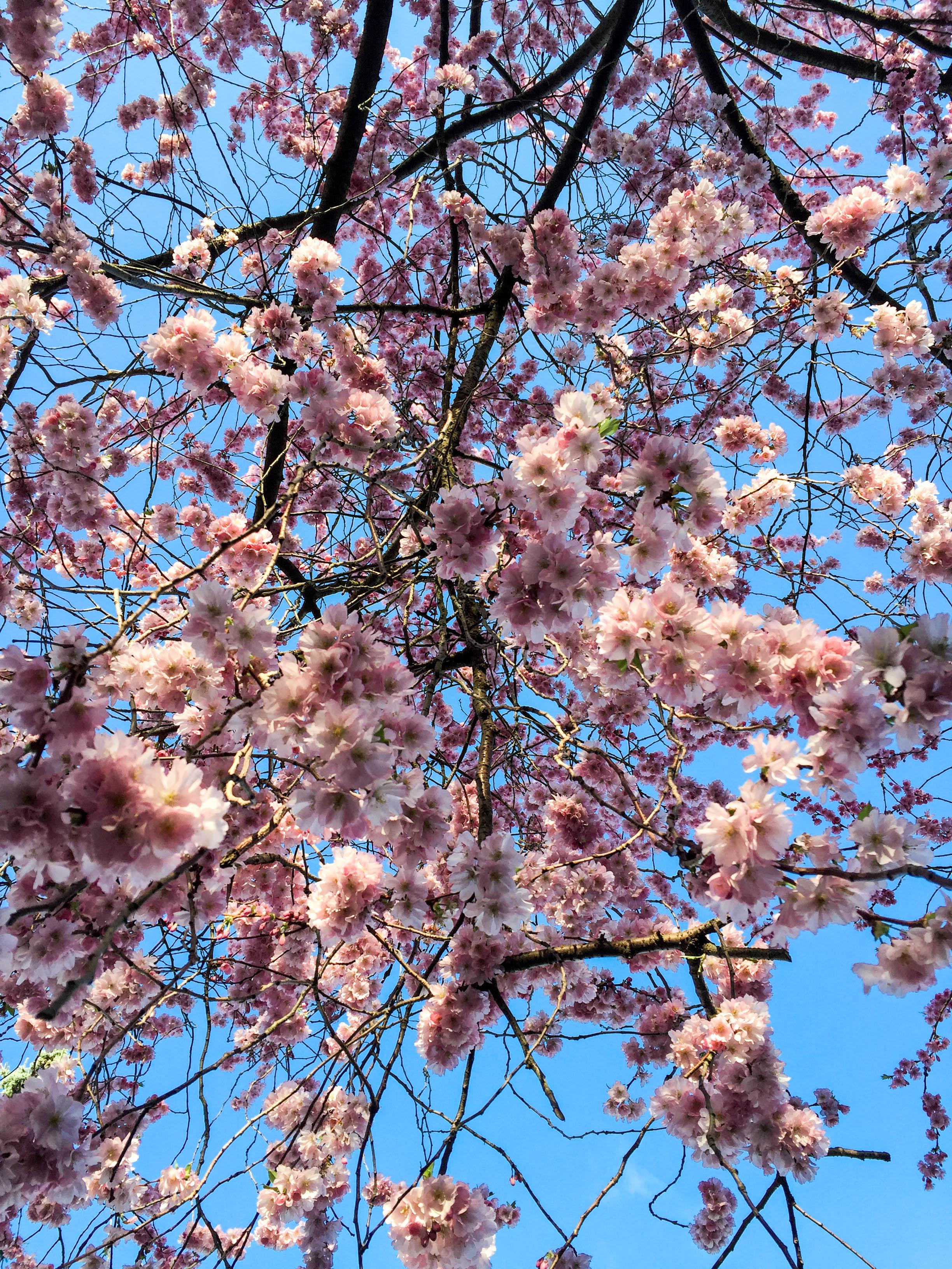 rosa Blüten-9476