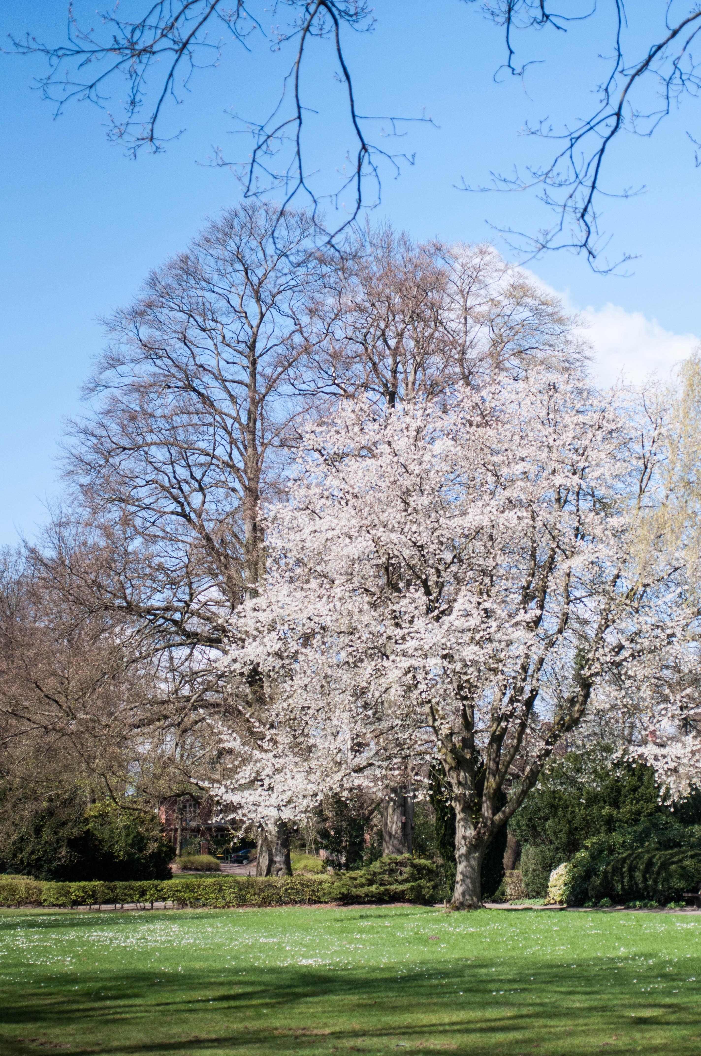 Baum mit weißen Blüten