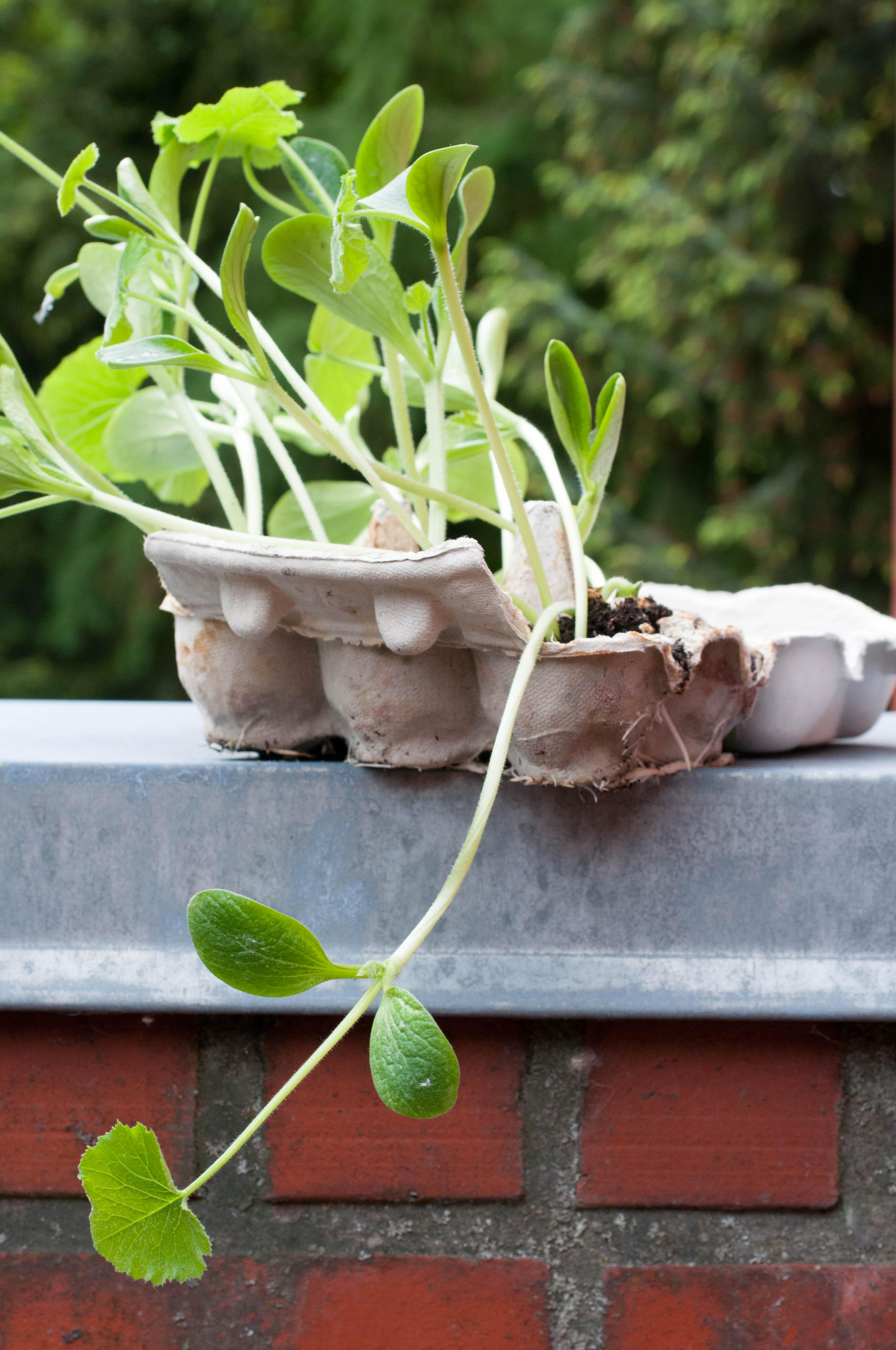 Zucchinipflanzen im Eierkarton