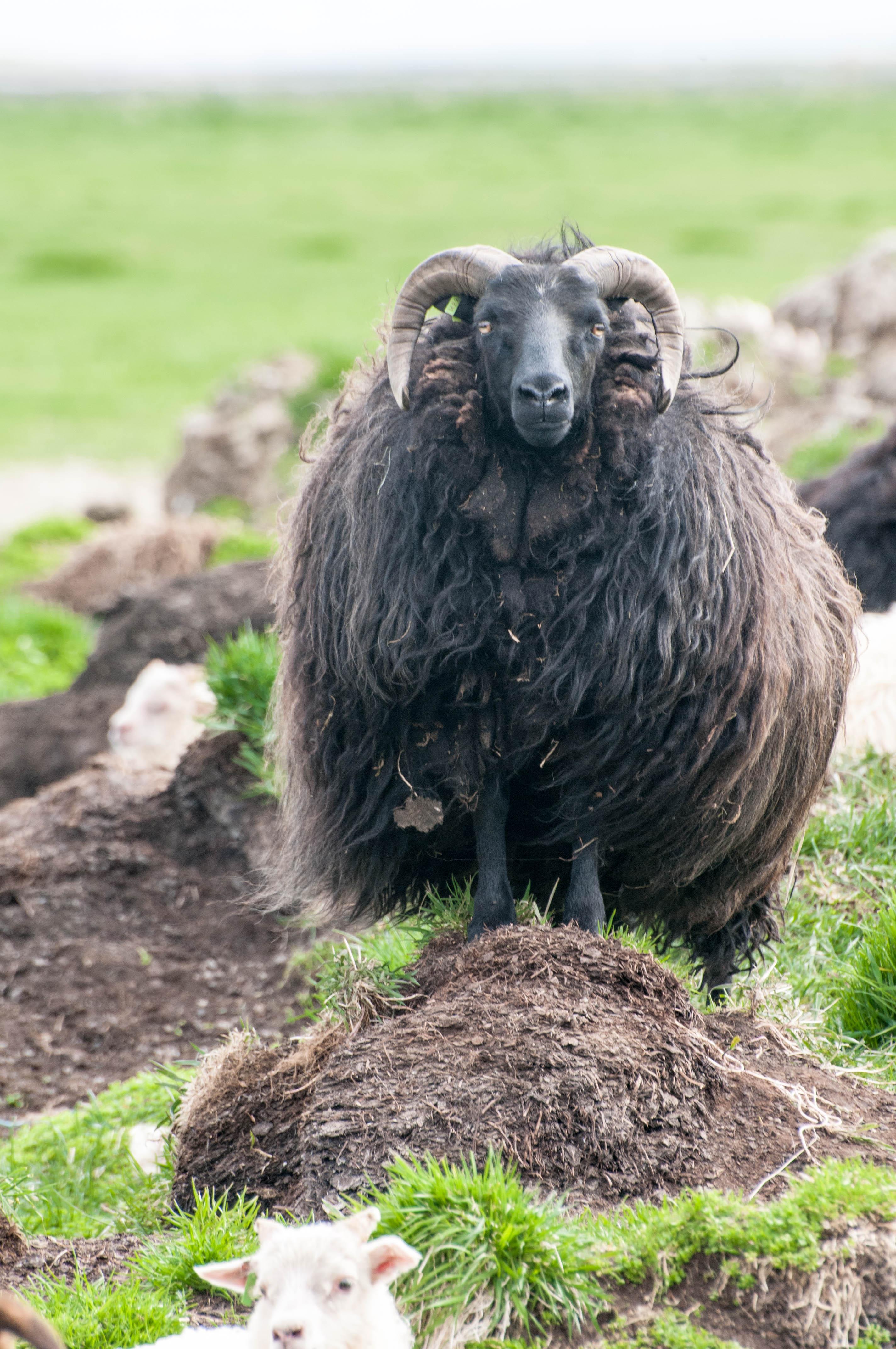 Island Schaf schwarzes Fell Hörner