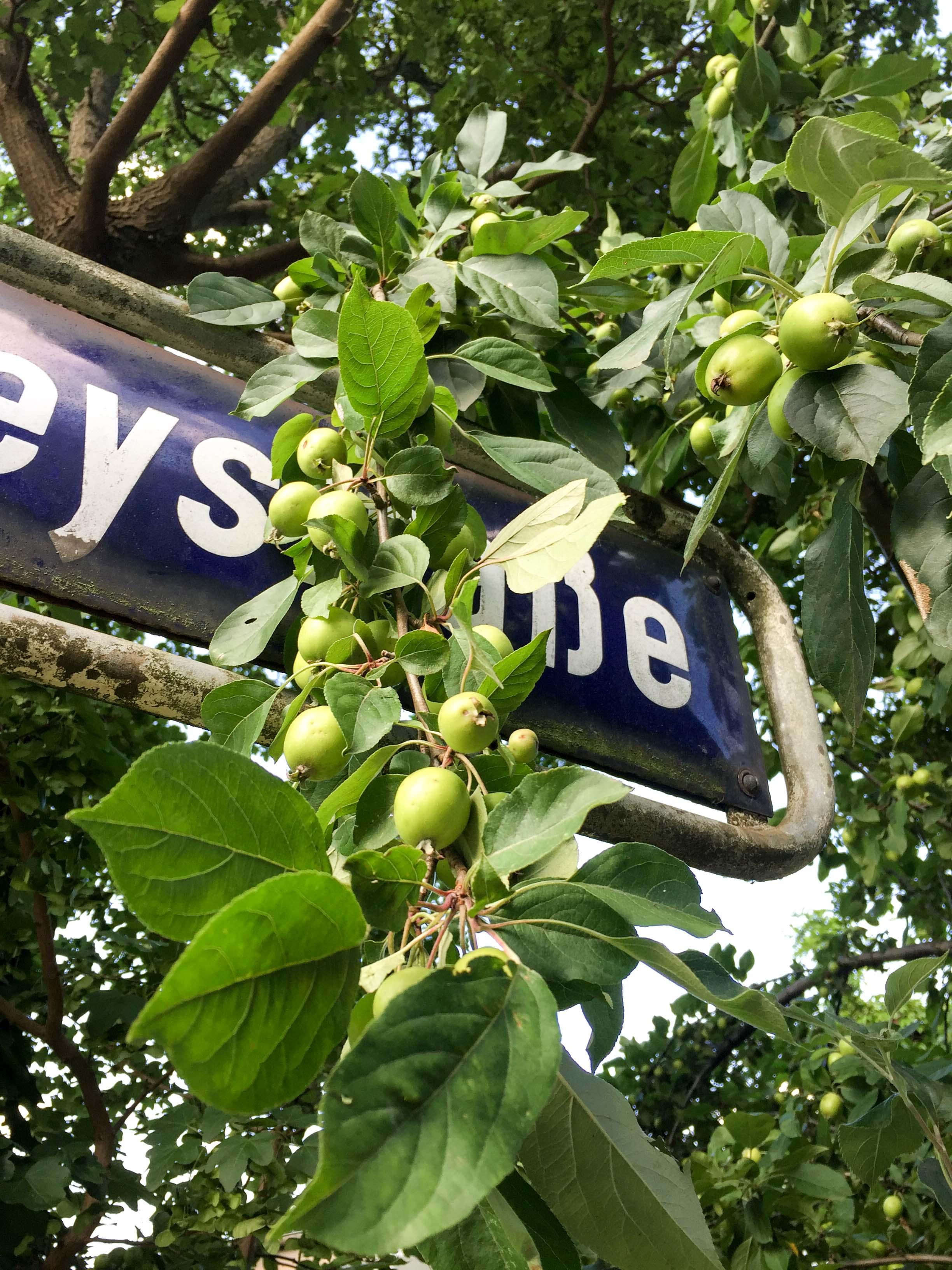 Apfelbaum im Juli
