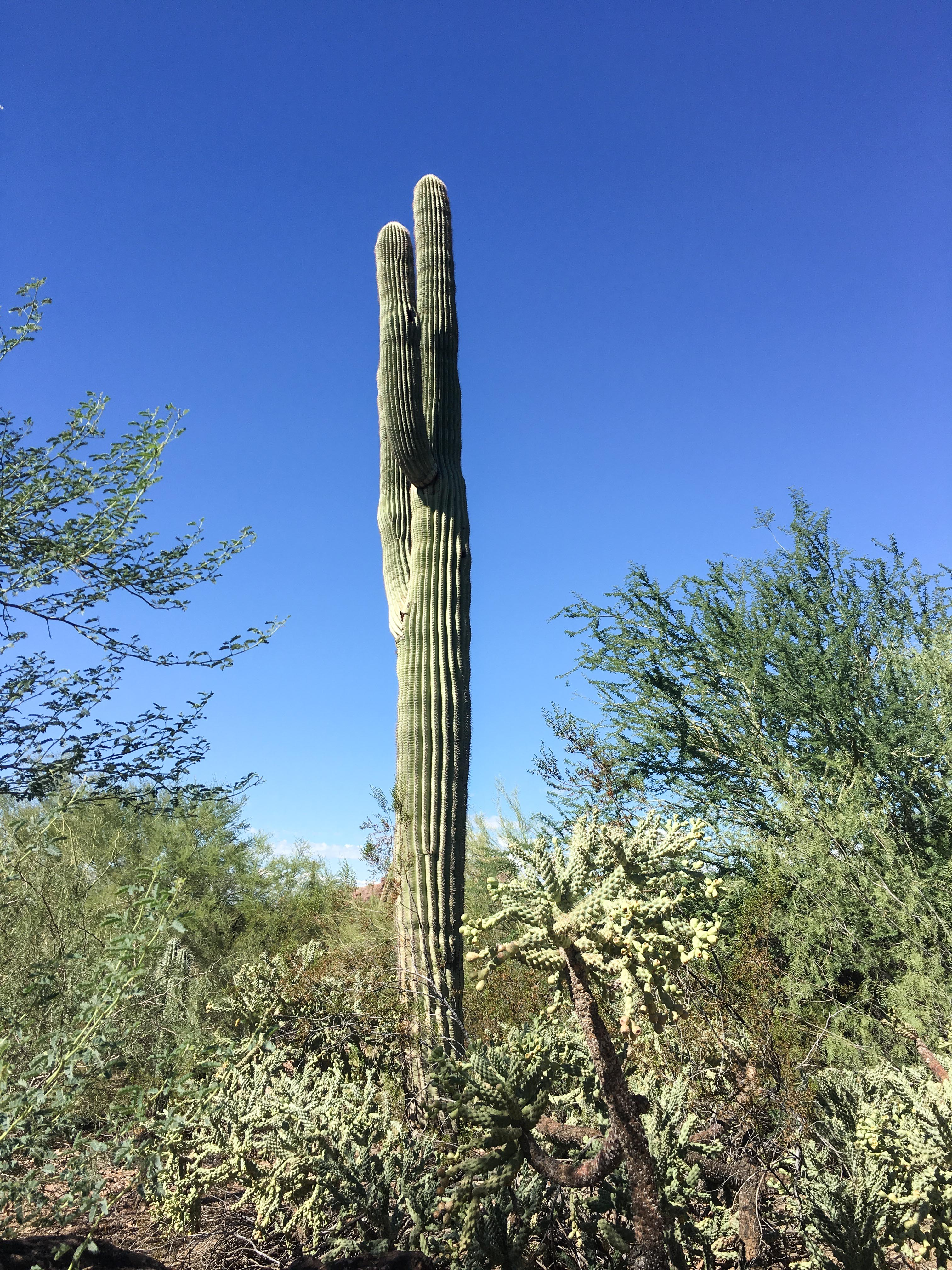 Kaktus in Arizona.