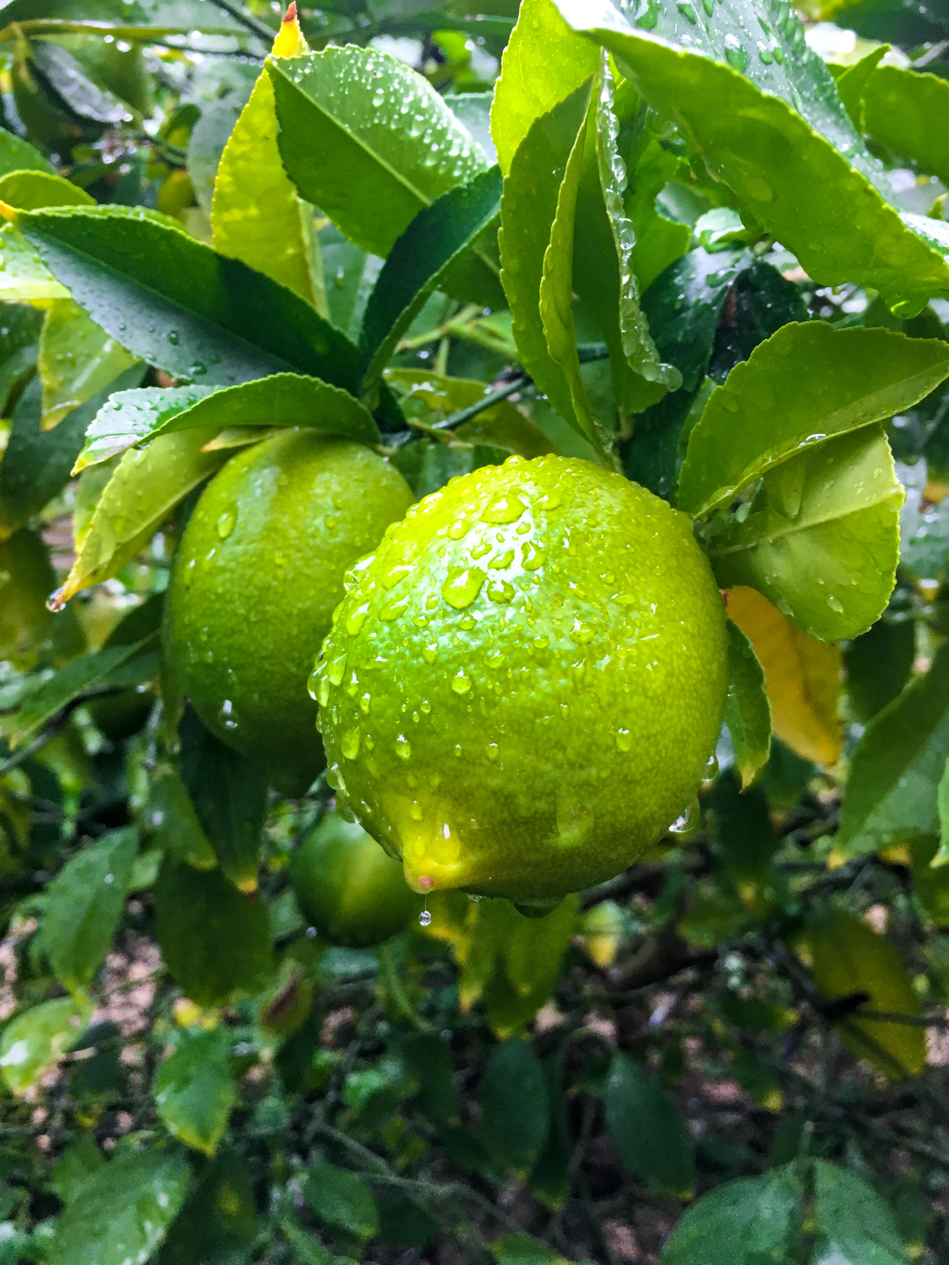 Limonenbaum