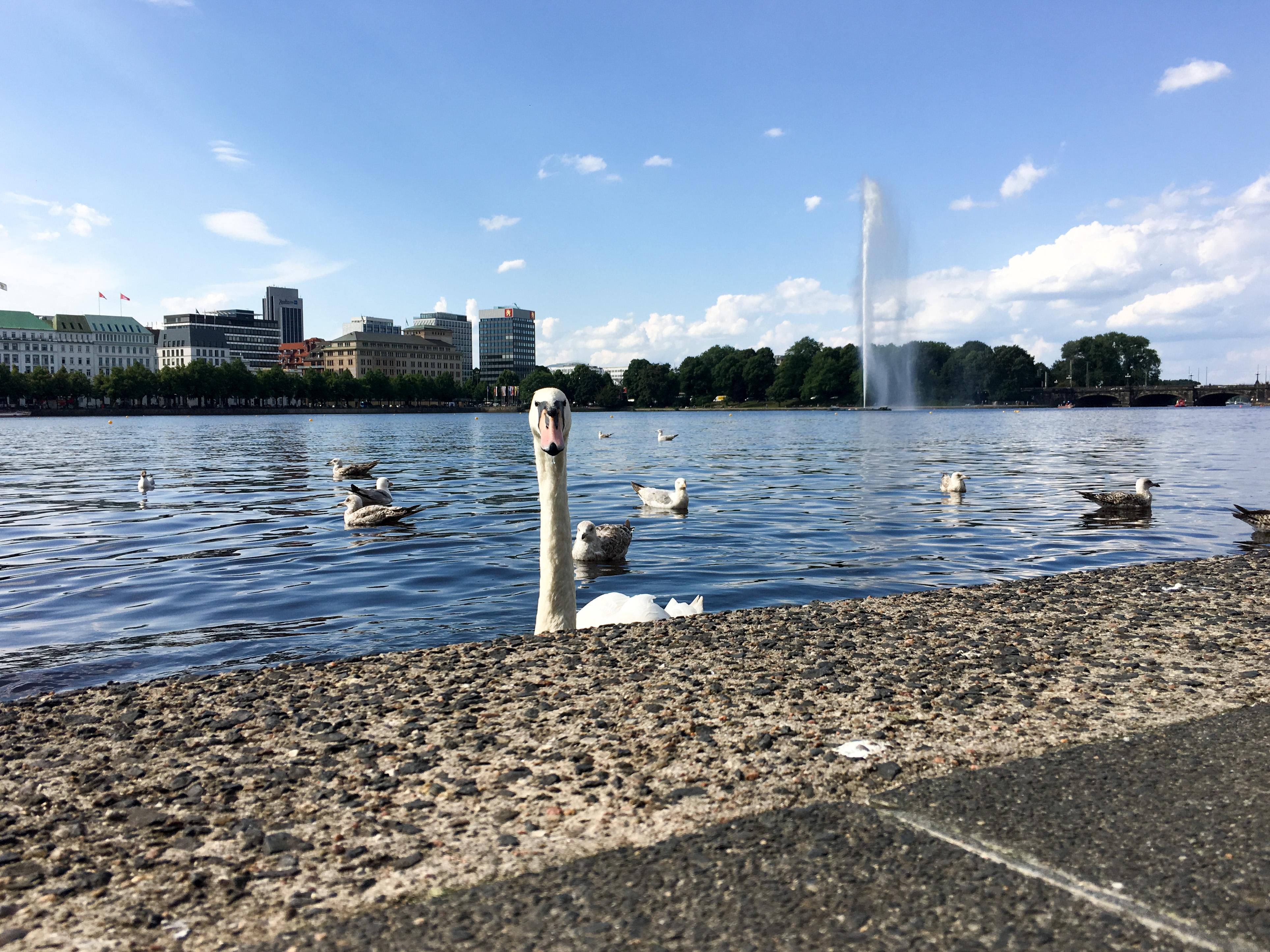 Schwan Binnenalster Hamburg Juli 2017